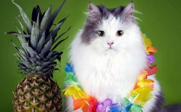 gatto benefici ananas