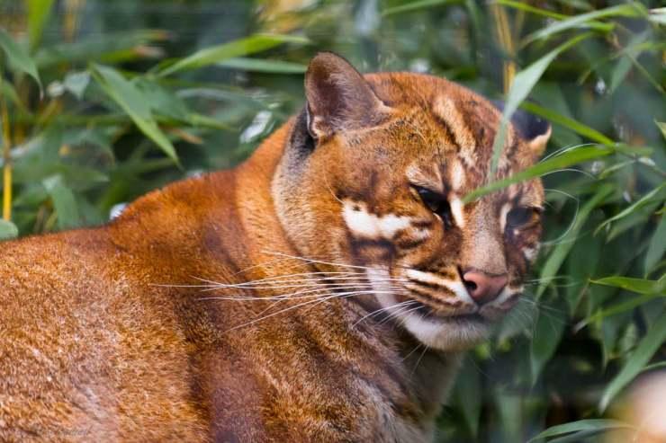 Razze di gatti a rischio estinzione