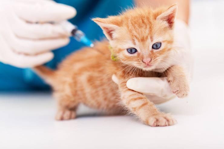 gatto fibrosarcoma