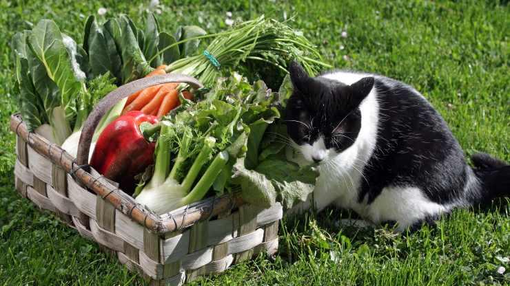 gatti possono mangiare il finocchio