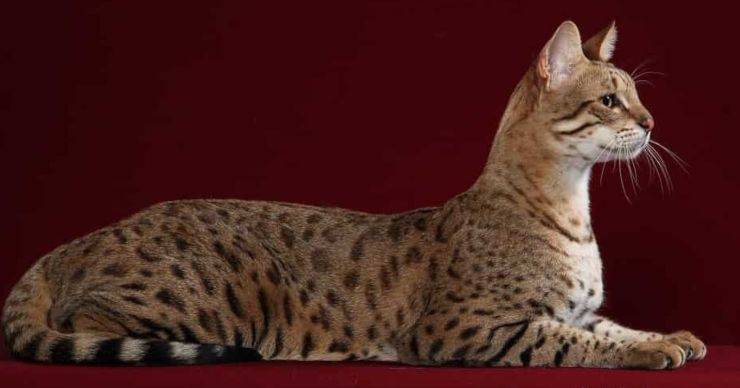 gatto giaguaro