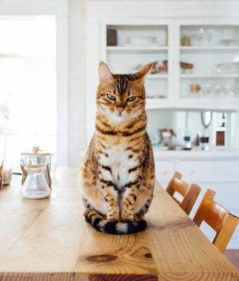 gatto ha mangiato crema