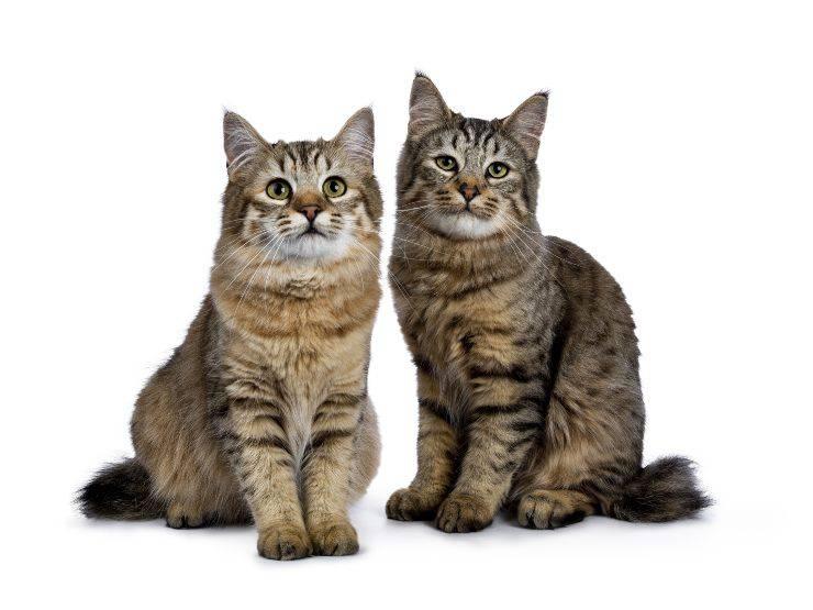 gatto lince