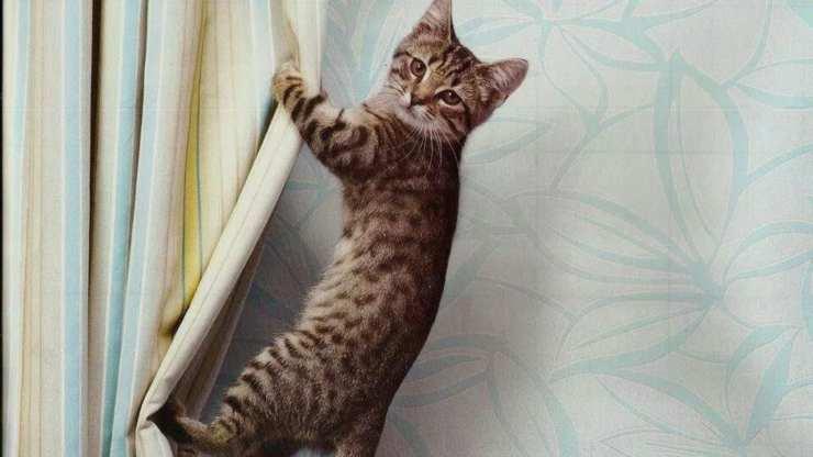 gatto si arrampica sulle tende