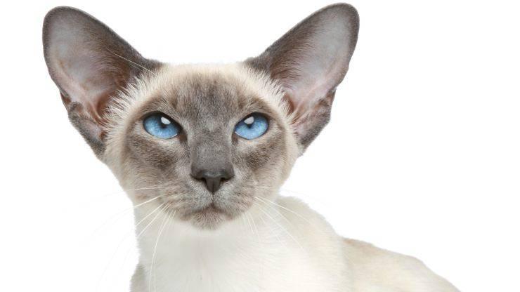 gatto siamese 1