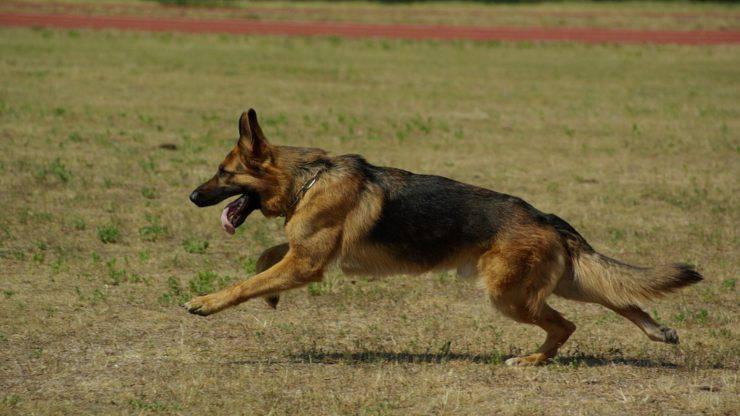 pastore tedesco cane cura pelo lavare toelettatura bagnetto