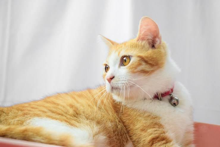 gatto giavanese