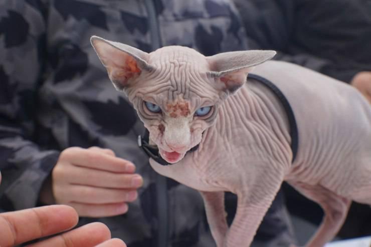 Riconoscere la razza di un gatto dal pelo