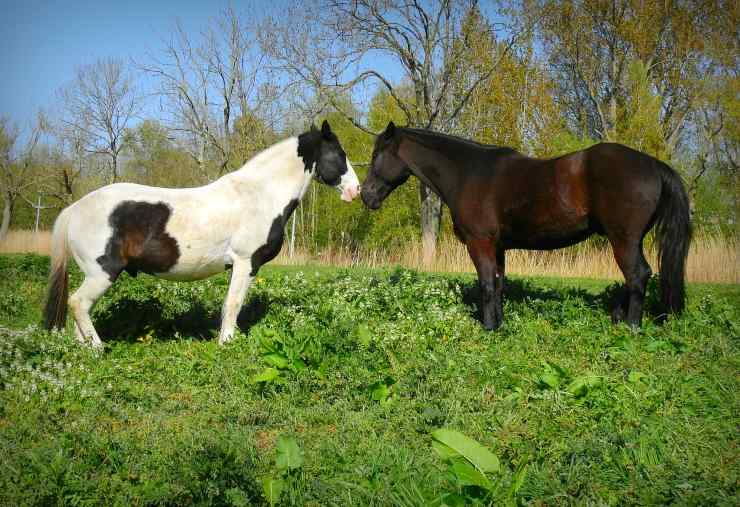 Come comunicano i cavalli tra loro