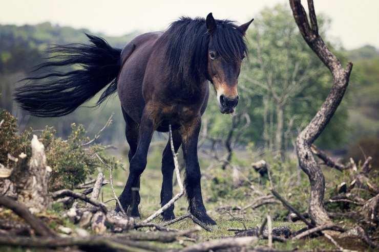 Il cavallo agita la coda