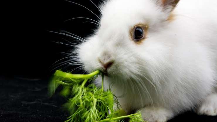 il coniglio può mangiare il finocchio