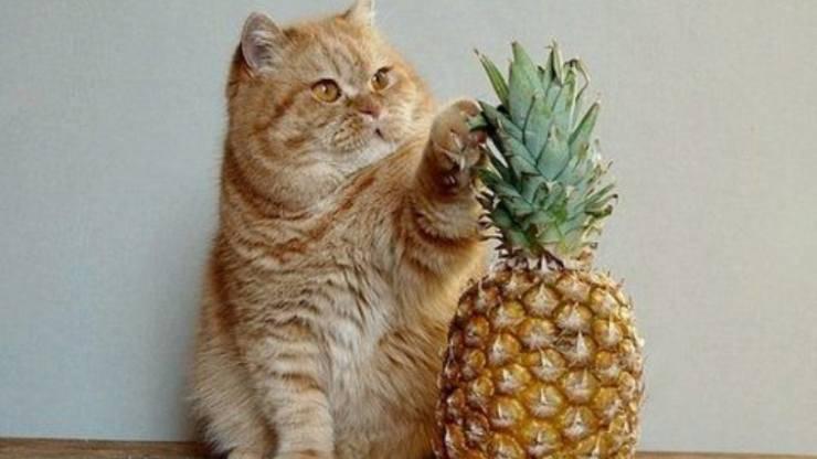 il gatto può mangiare l'ananas