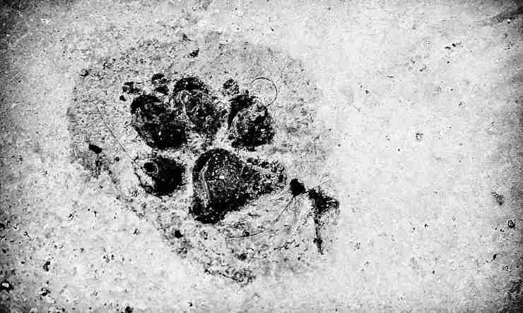 impronta lupo cane