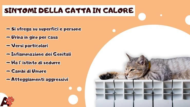 infografica sintomi gatta in calore