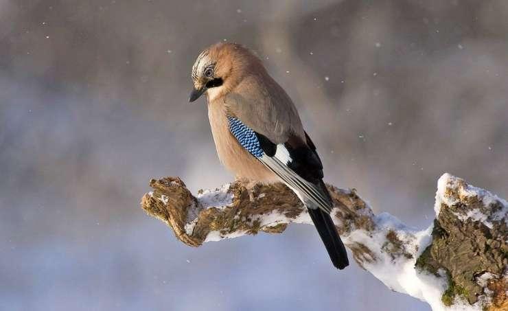 Uccellino sul ramo innevato (Foto Pixabay)