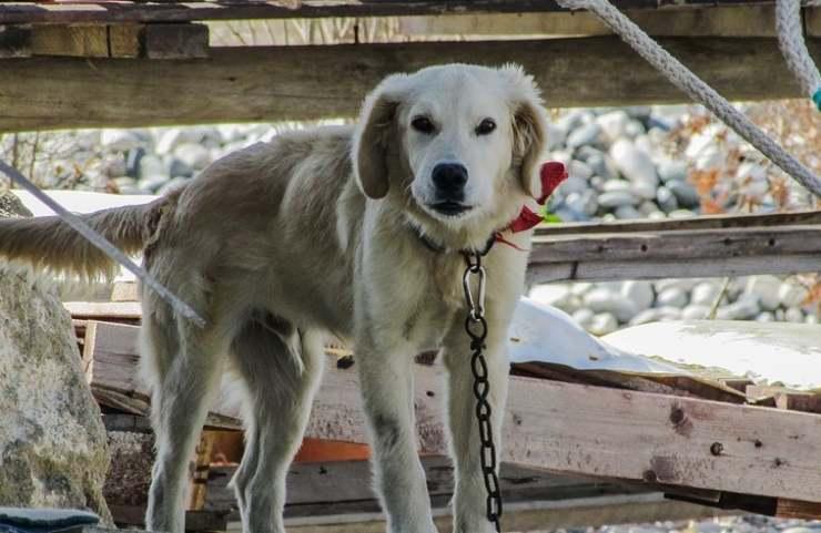 cane legato catena albero pastore