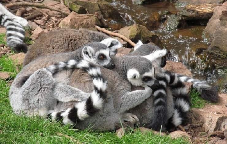 famiglia di lemuri