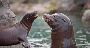 differenza tra leone marino e foca