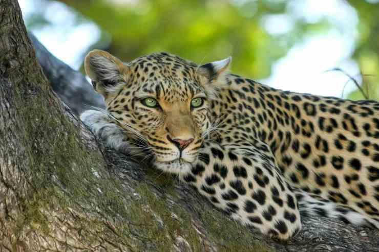 Leopardo disteso sull'albero (Foto Pixabay)