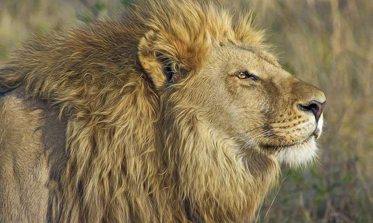 Leone attento (foto Pixabay)