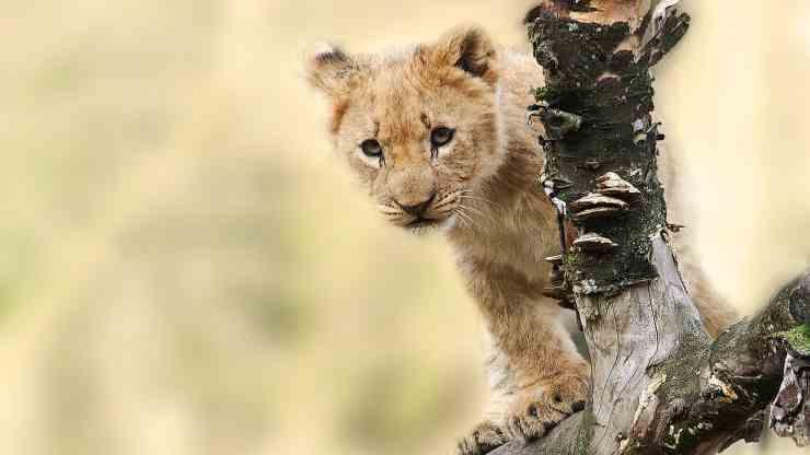 Cucciolo di leone attento (Foto Pixabay)