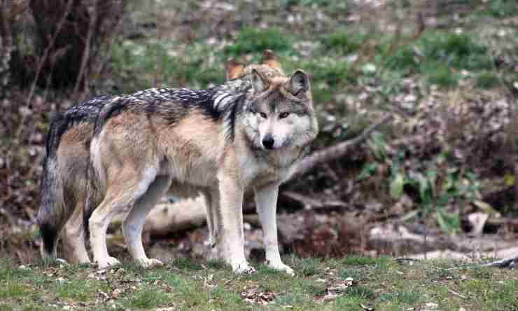 lupi domesticazione
