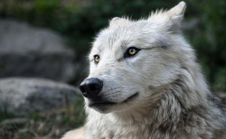 lupo origini cane