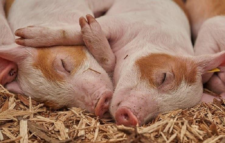 maiali fattoria abbraccio tra animali