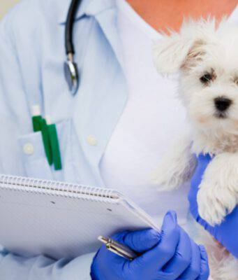 maltese e veterinario