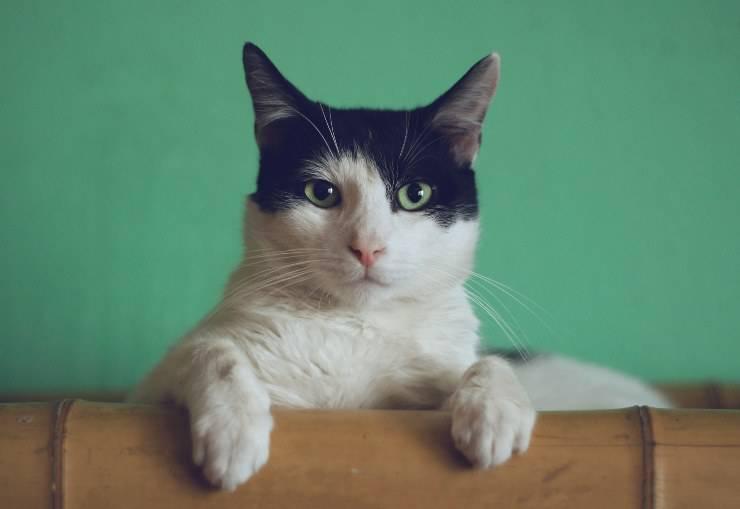 Asma da fumo passivo nel gatto