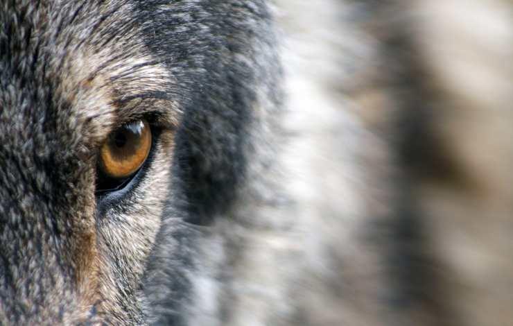 occhio lupo cane