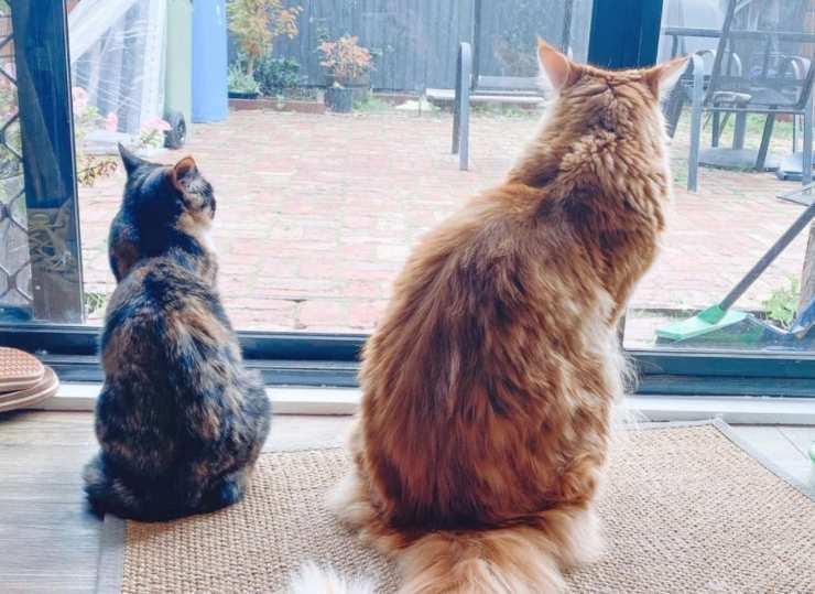 gatto più grande mondo