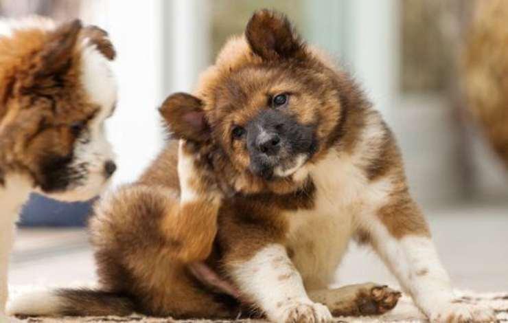 orecchie rosse cane