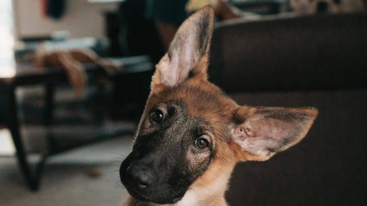 orecchie rosse nel cane