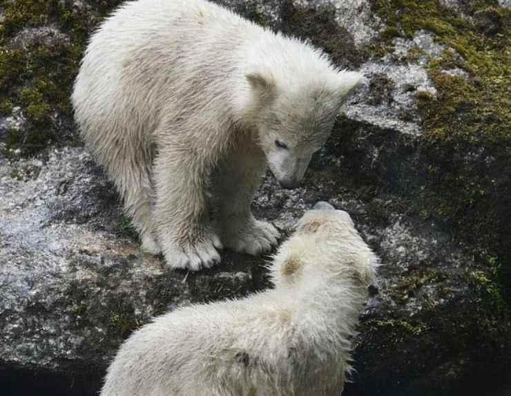 quattro umane due orsetti polari