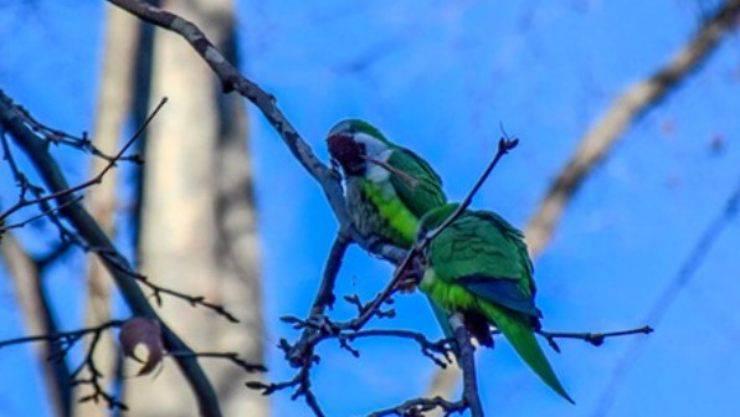 invasione pappagallini verdi città