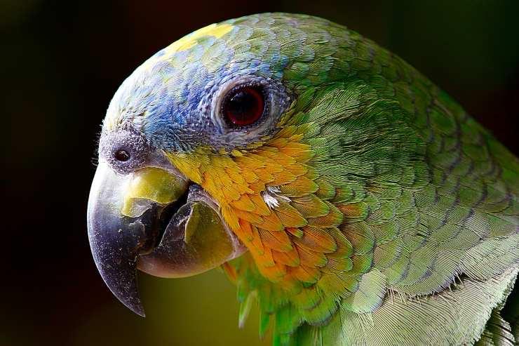 Uccelli da tenere in casa: Pappagallo Ara