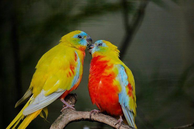 Uccelli da tenere in casa: parrocchetto