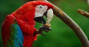 perché il pappagallo butta il cibo