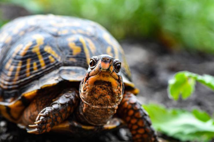 La gotta nella tartaruga
