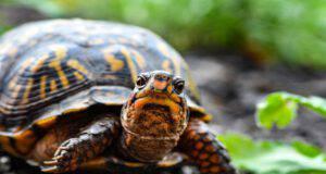 La malattia della tartaruga