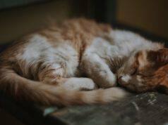 Fasciare la coda al gatto