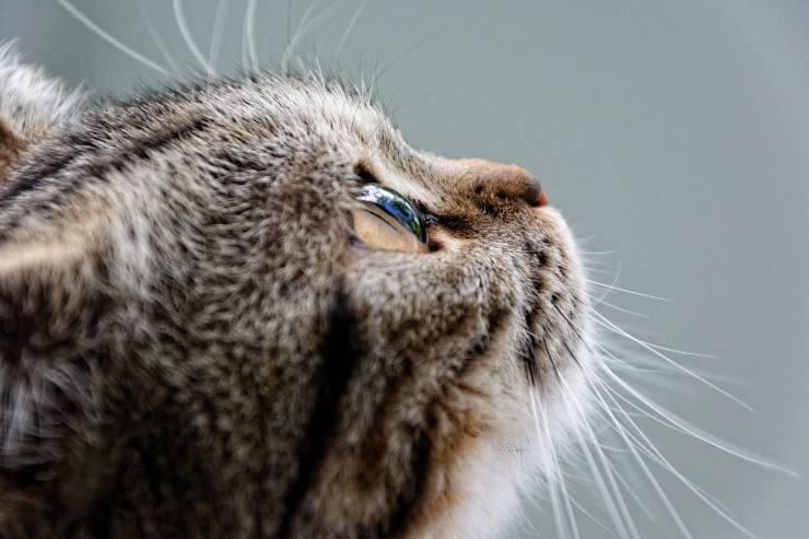 Il gatto piange lacrime