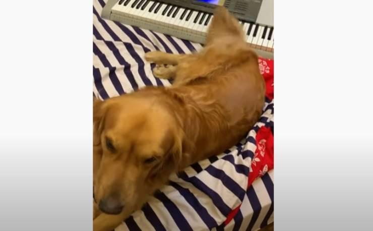 cagnolino suona pianola coda