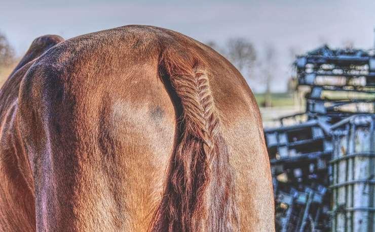 Coda del cavallo