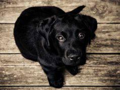 Cucciolo di cane (Foto Pixabay)