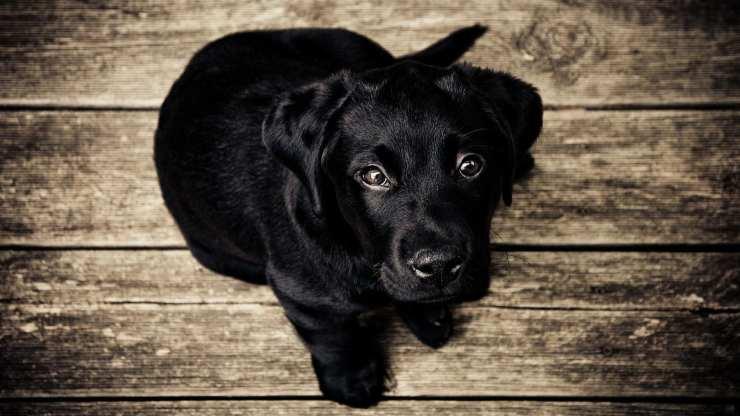 Sguardo del cucciolo (Foto pixabay)