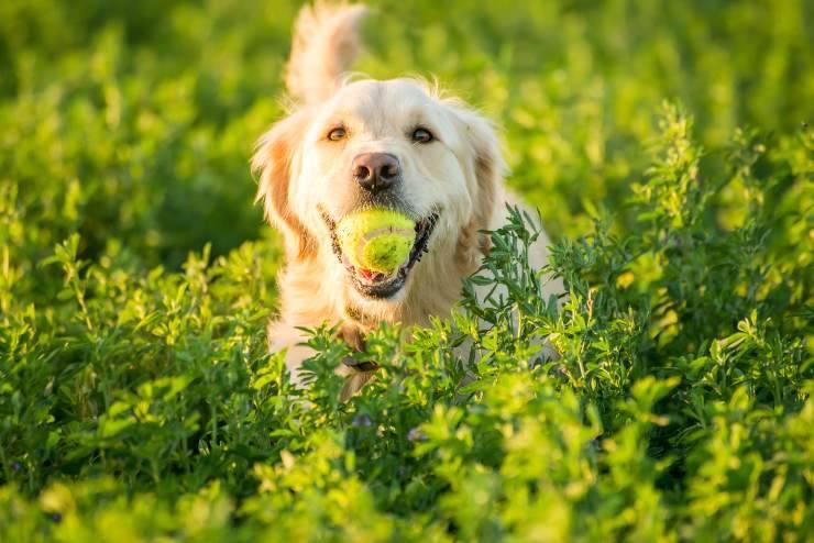razze di cani da riporto