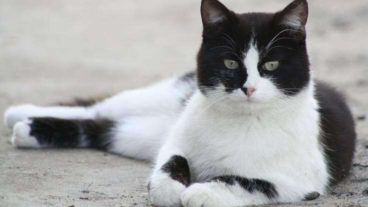 razze di gatti bianche e nere