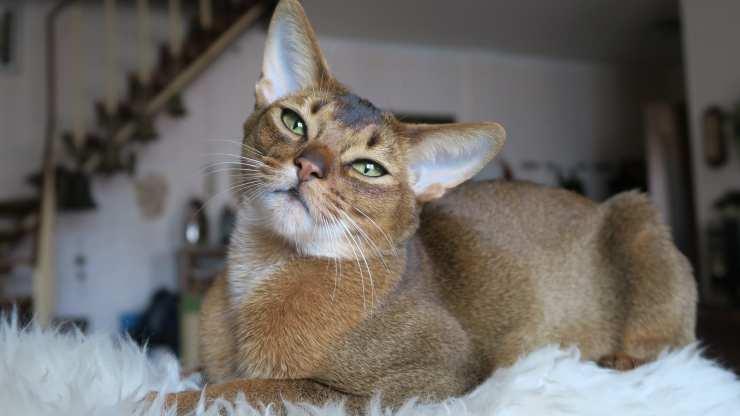 razze di gatti che si ammalano